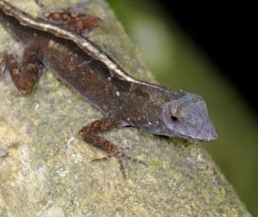 Brown-Anole