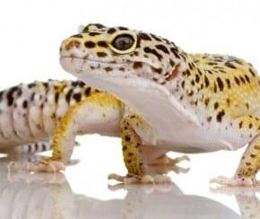 Piccolo Animale di Sabbia Gecko