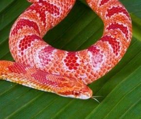 Reverse-Okeetee-Corn-Snake-290x244.jpg