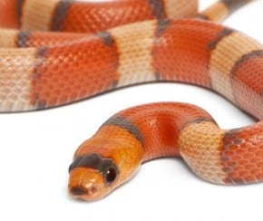 Serpiente de leche de Honduras | Blanco Python